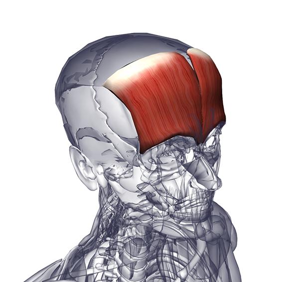 Мышца височная