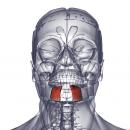 Подбородочная мышца