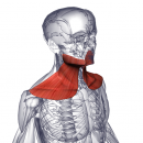 Подкожная мышца шеи