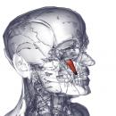 Мышца, поднимающая уголок рта