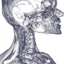 Прямая передняя мышца головы