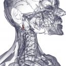 Прямая латеральная мышца головы