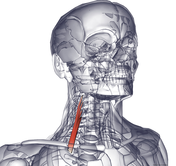 Передняя лестничная мышца