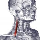 Средняя лестничная мышца