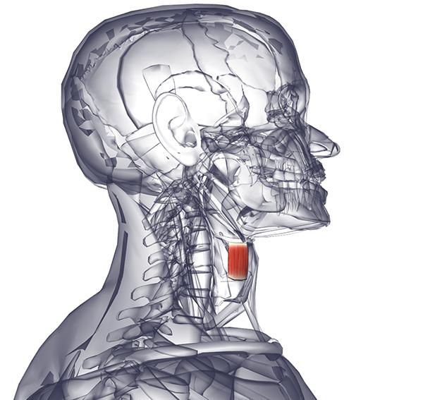 Щитовидно-Подъязычный