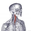 Длинная мышца шеи