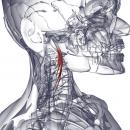 Длинная мышца головы