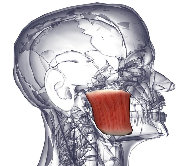 Мышца надчерепная фото
