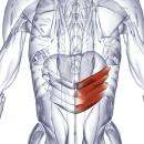 Нижняя задняя зубчатая мышца