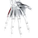 Мышца, отводящая мизинец
