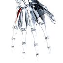 Мышца, противопоставляющая мизинец
