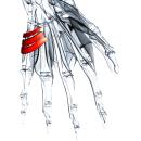 Короткая ладонная мышца