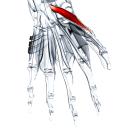 Короткая мышца, отводящая большой палец кисти