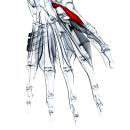 Мышца, противопоставляющая большой палец кисти