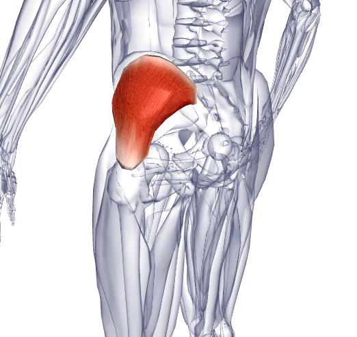 средняя ягодичная мышца фото часто