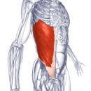 Наружная косая мышца живота