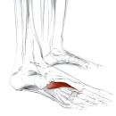 Мышца, приводящая большой палец стопы