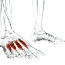 Дорсальные межкостные мышцы