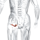 Наружная запирательная мышца бедра