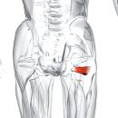 Квадратная мышца бедра