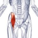 Подвздошная мышца