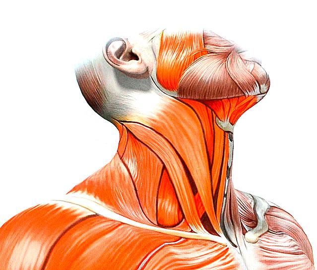 Строение шеи человека
